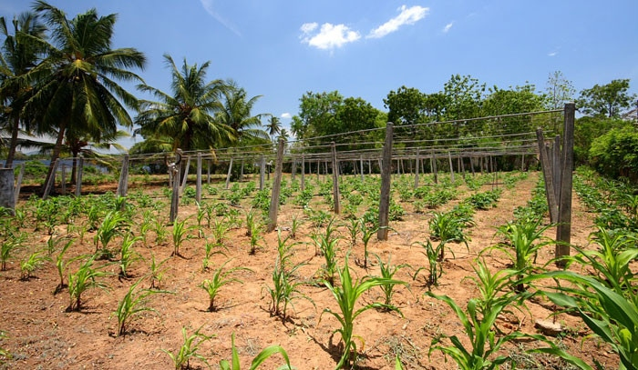 Coconut tree plantation in Sri Lanka